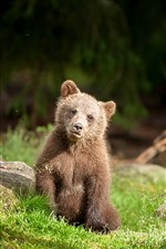 Preview iPhone wallpaper Brown bear cub, grass, wildlife