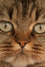 Preview iPhone wallpaper Brown cat front view, face, eyes, whisker
