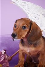 Preview iPhone wallpaper Brown dog, dachshund, umbrella, pink flowers