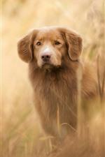 iPhone fondos de pantalla Perro marrón, vista frontal, brumoso