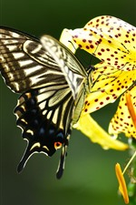 Preview iPhone wallpaper Butterfly and yellow lily flower
