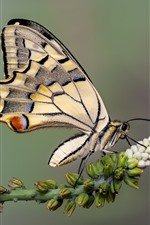 Preview iPhone wallpaper Butterfly, swallowtail, wings, white flowers