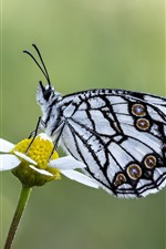 Butterfly, white petal flower, insect