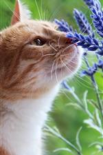 Flores de gato e lavanda