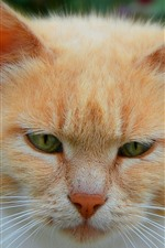 Cat front view, face, eyes, orange and white