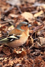 Preview iPhone wallpaper Chaffinch, birds, leaves, ground