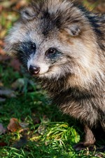 Preview iPhone wallpaper Cute raccoon, sitting on ground, wildlife