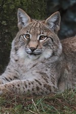 Preview iPhone wallpaper Cute wild cat, lynx, stay