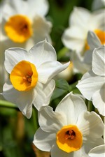 Preview iPhone wallpaper Daffodils, white petals, flowers close-up