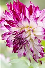 Preview iPhone wallpaper Dahlia, pink and white petals