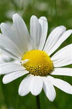 Daisy, white petals, flower close-up