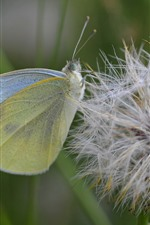 Dandelion, butterfly, macro photography