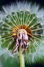 Preview iPhone wallpaper Dandelion macro photography, stem, fluff