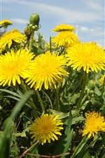 Preview iPhone wallpaper Dandelions, yellow flowers close-up, summer