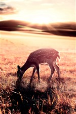 Preview iPhone wallpaper Deer eat grass, sunrise, glare