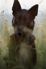 Cachorro, grama, vista frontal, nebuloso