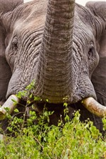 Preview iPhone wallpaper Elephant front view, big ears, tusks, nose