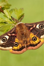 Preview iPhone wallpaper Emperor moth, butterfly, wings, twigs, leaves