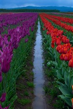 Flowers fields, red and purple tulips, morning