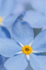 Vorschau des iPhone Hintergrundbilder Vergissmeinnicht, blaue Blumenblätter, Blumennahaufnahme