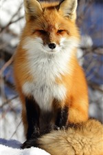 Preview iPhone wallpaper Fox sit on snow, front view, winter