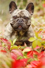 Preview iPhone wallpaper French bulldog, leaves, autumn