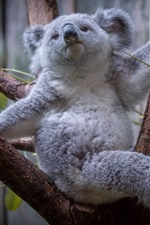 Preview iPhone wallpaper Furry koala, tree