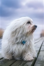 Preview iPhone wallpaper Furry white dog, wood board, sunshine