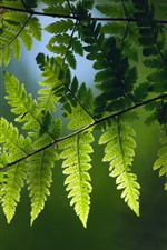 Preview iPhone wallpaper Green fern leaves, twigs