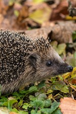 Hedgehog, many needles, ground, leaves