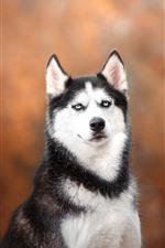 Cão Husky, olha, fundo laranja