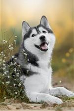 Cão Husky, flores brancas