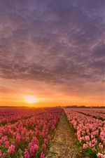 Preview iPhone wallpaper Hyacinth, pink flowers, fields, sunset