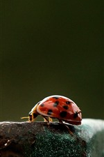 Preview iPhone wallpaper Ladybug, rusty iron