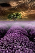 Lavender flowers, tree, fog, clouds, morning