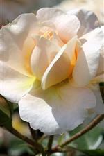 iPhone обои Светло-розовая роза крупным планом, цветочные бутоны