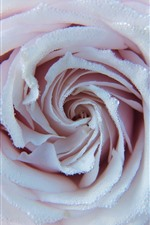 Light pink rose, many water droplets