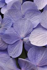 iPhone壁紙のプレビュー 薄紫色の紫陽花、多くの花