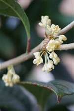 Preview iPhone wallpaper Light yellow osmanthus