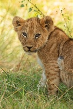 Preview iPhone wallpaper Lion cub, look back, grass
