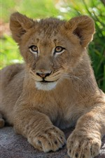 Preview iPhone wallpaper Lion cub, stay, rest