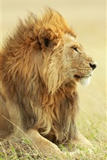 Preview iPhone wallpaper Lion, grass, wind