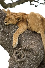 Preview iPhone wallpaper Lioness sleep in tree