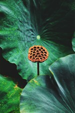 Preview iPhone wallpaper Lotus seed, green leaves