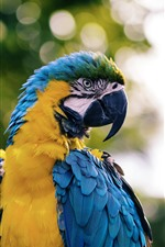 Macaw, parrot, blue feather
