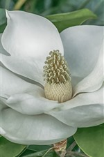 Preview iPhone wallpaper Magnolia, white flower, leaves