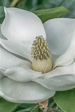 Aperçu iPhone fond d'écranMagnolia, fleur blanche, feuilles