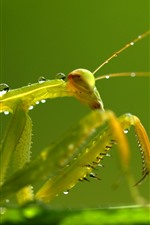 Preview iPhone wallpaper Mantis, green, insect, water droplets