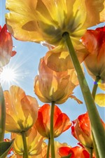 Preview iPhone wallpaper Many tulips, flowers field, sky, sun rays