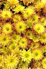 Preview iPhone wallpaper Many yellow flowers, dahlia